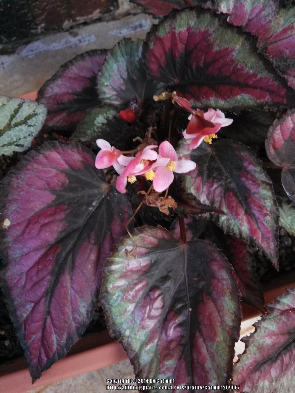 Auf Bing Von Garden Org Gefunden Begonia Tropical Plants African Violets