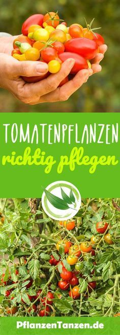 【ᐅ】Tomatenpflanzen pflegen ✿ 2020