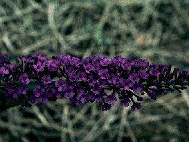 Buddleia Davidii - Potter's Purple (zone 5)