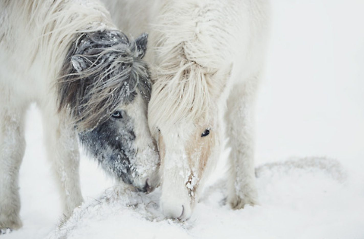 Simple Wallpaper Horse Winter - 55ea1e1ac26e908249d53df1037c3b83  Pictures_93628.jpg