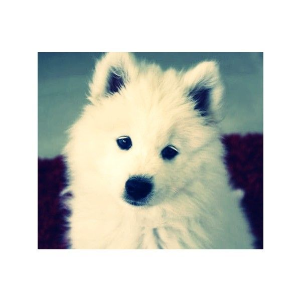 Haven Puppy Dog edited by AndreahJ'Adore...♥ ❤ liked on Polyvore featuring animals, pets, backgrounds, cute animals and pictures
