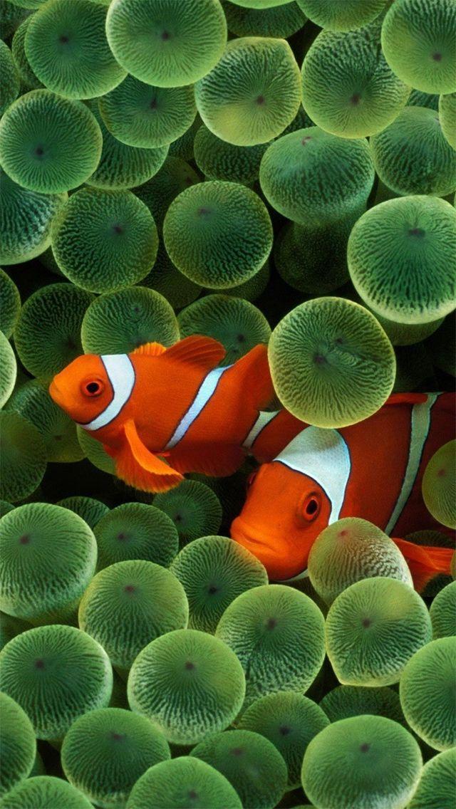 Iphone 5 Wallpaper Fish Wallpaper Clown Fish Underwater Wallpaper