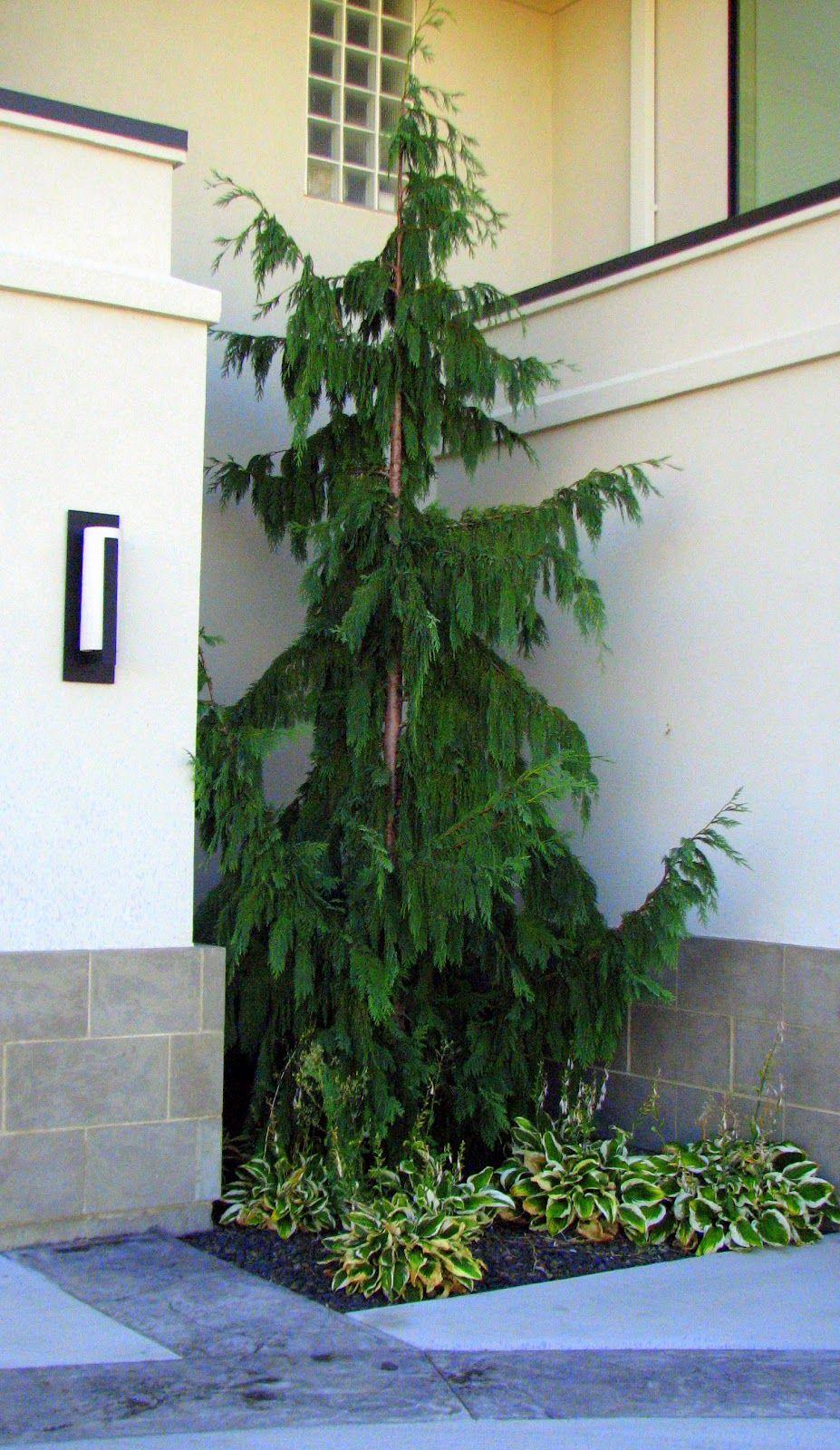 Landscaping Ideas For Cedar Trees : Trees garden cedar landscape design outdoor ideas