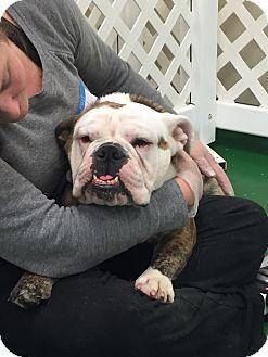 Park Ridge Il English Bulldog Meet Zadi A Dog For Adoption Http Www Adoptapet Com Pet 11909863 Park Ridge Illinois With Images Bulldog English Bulldog Dog Adoption