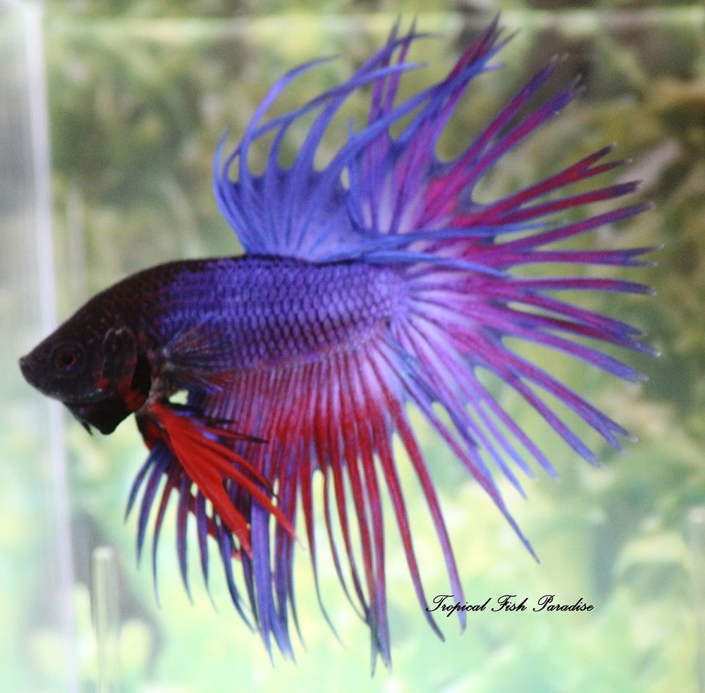 Blueredpurple crowntail male imported betta fish ct04 blueredpurple crowntail male imported betta fish ct04 sciox Image collections