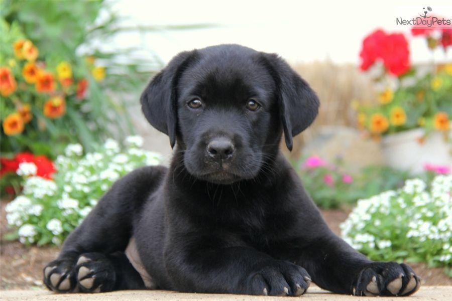 Labrador Retriever Puppy For Sale Near Lancaster Pennsylvania 00fe3502 D4b1 With Images Labrador Retriever Lab Puppies Labrador