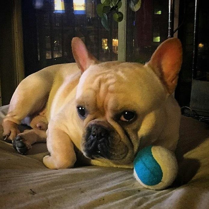 Oh Yes That Is A Ball That Is My Ball Mrporkins Frenchie
