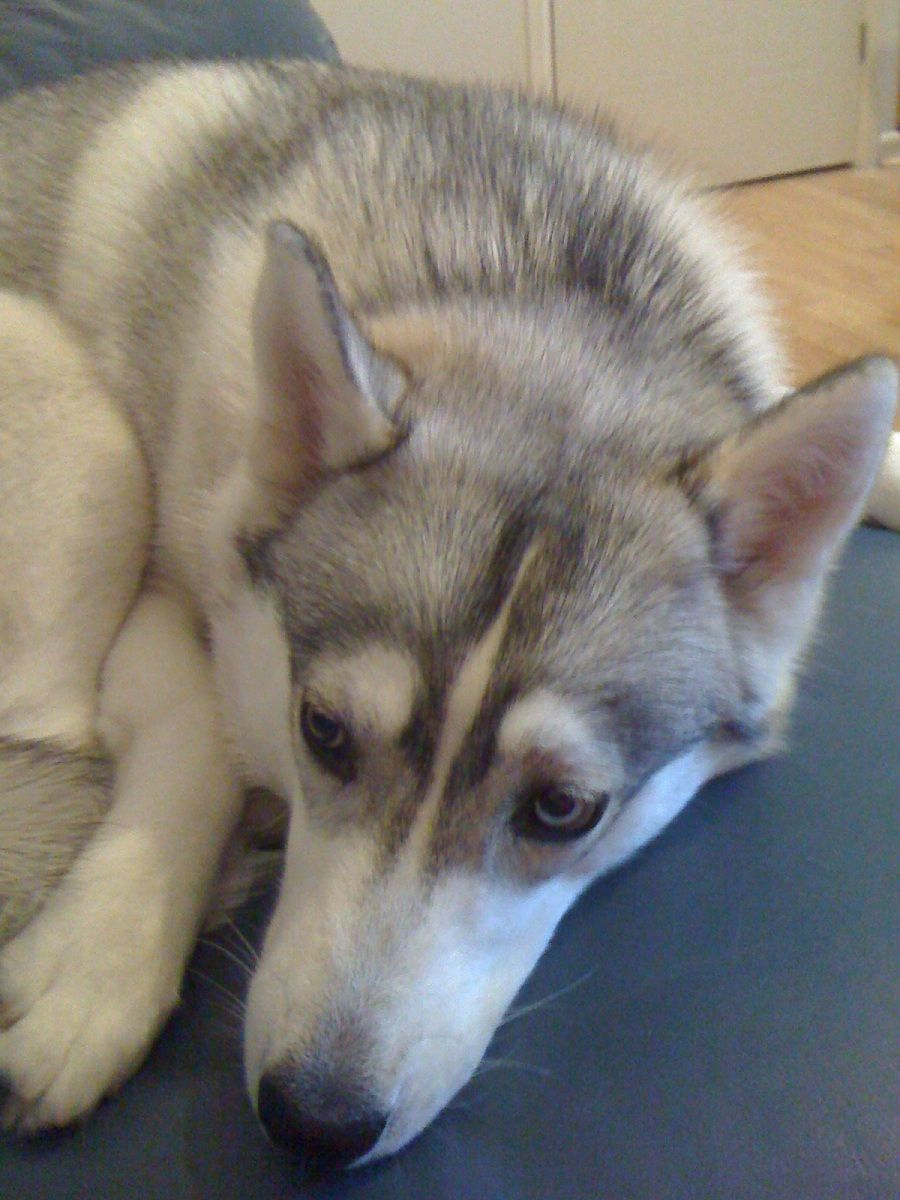 Pin By Katie Pullins On Awesome Dogs Alaskan Husky Animals Dogs