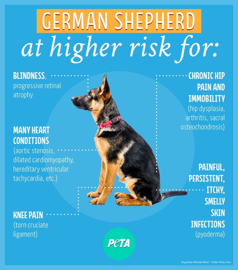 purebred german shepherd cost the hidden cost of buying a purebred dog from a breeder 2731