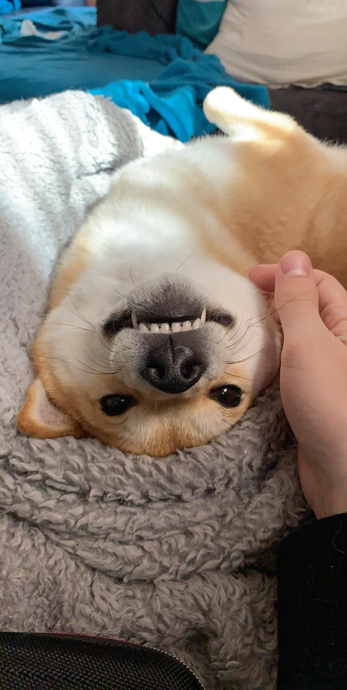 Happy doggo shibainu shibainupuppies Cute little