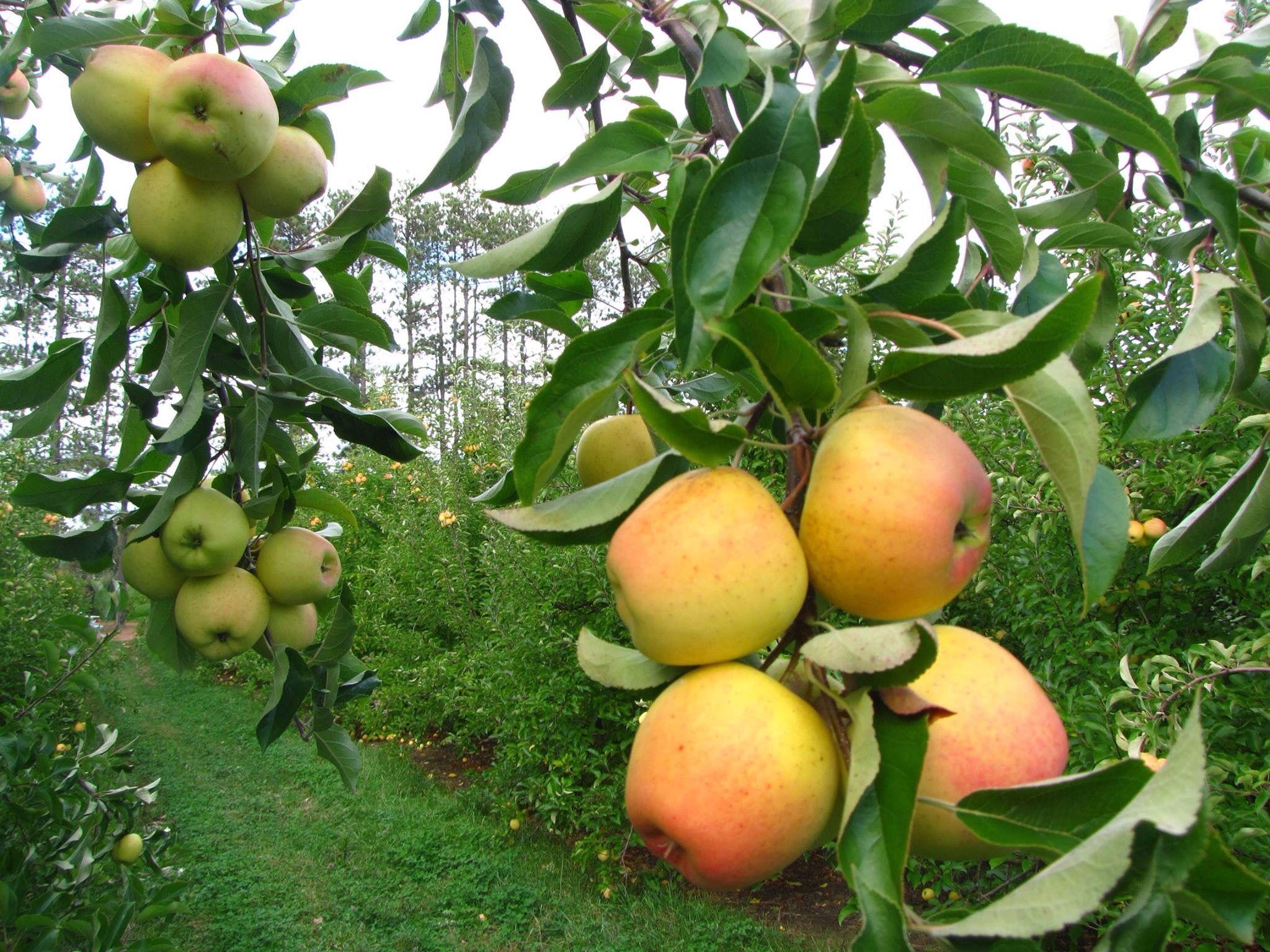 Golden Apples Orchards In Hunza Valley Gilgit Baltistan Pakistan Ginger Gold Apple Apple Apple New