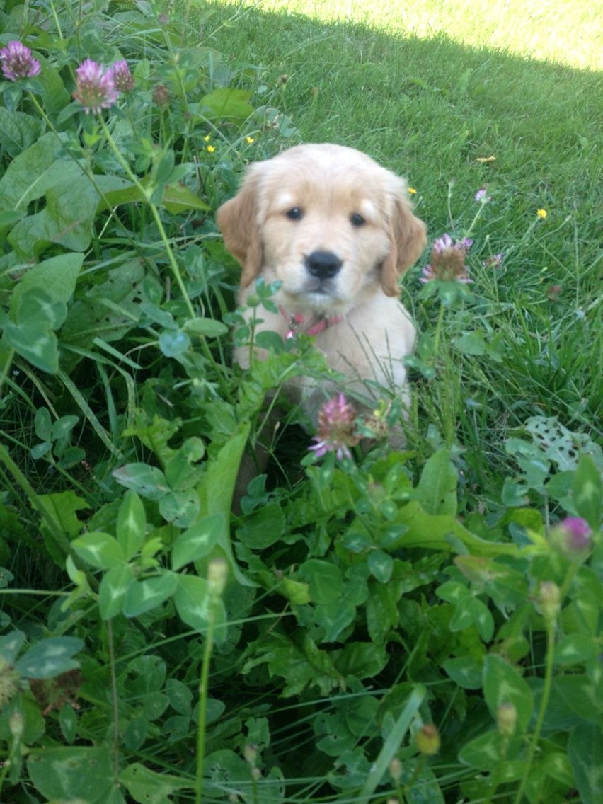 Perfect Day Champion Line Goldens Of Vermont Retriever Puppy