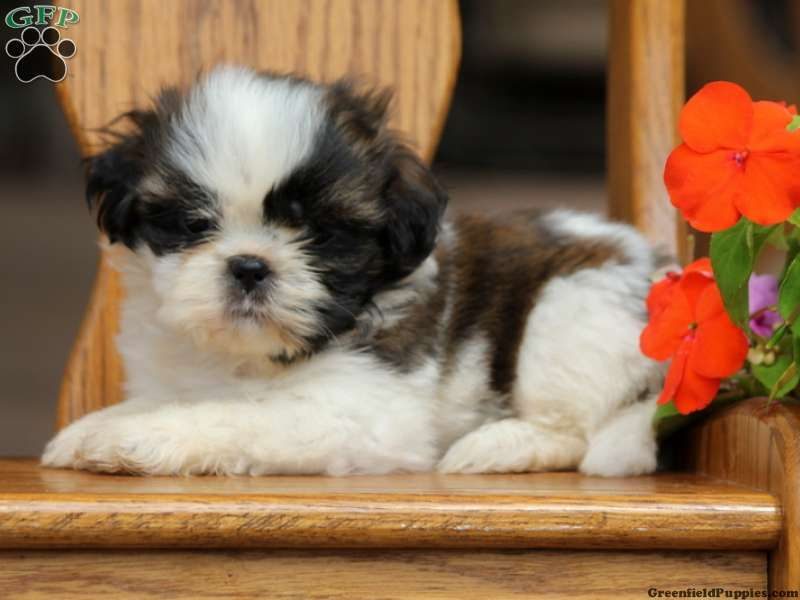 Holly Shih Tzu Puppy For Sale From Millersburg Pa Shih Tzu