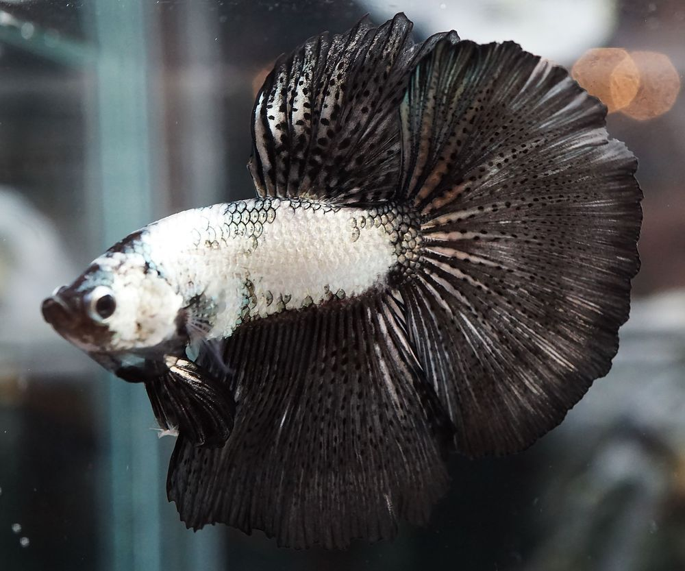 Live Betta Fish *RARE* White Copper Black Orchid Dragon HM ...