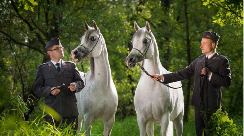 مزاد فخر بولندا العالمي 2016 للخيول العربية منتصف الشهر الجاري Arabian Horse Horses Animals