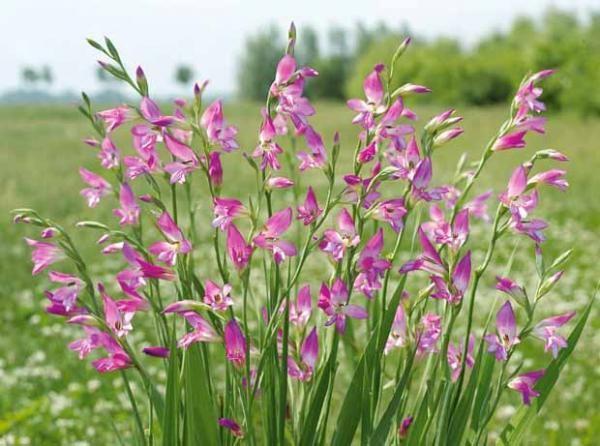 20 #glaïeuls de byzance | jardin d'été | pinterest | glaieul