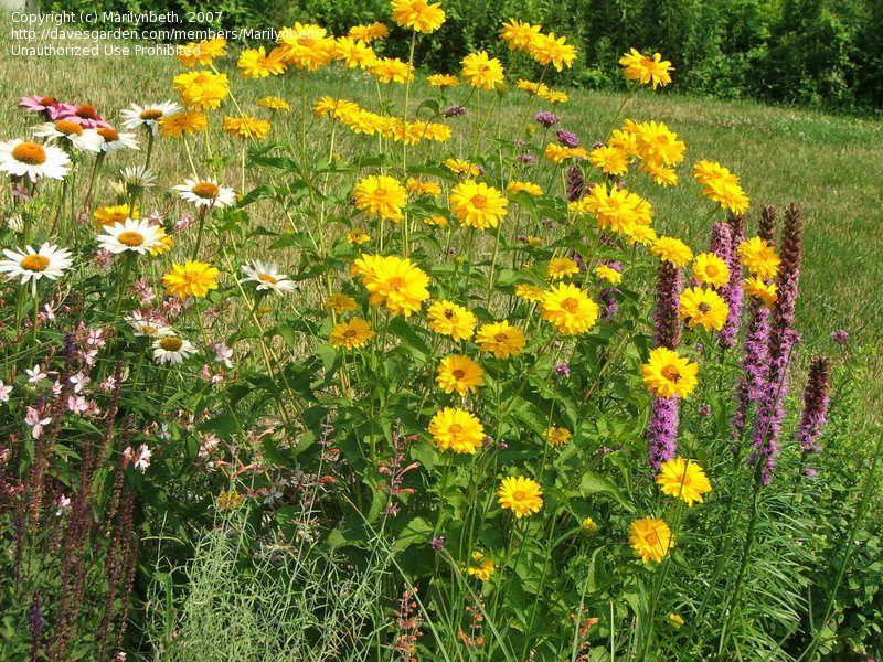 Helianthus helianthoides summer sun dresses