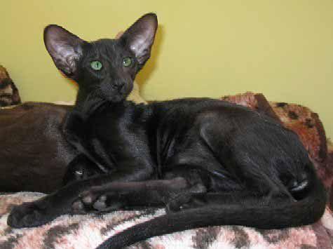 Oriental Cats Of Black Color Always Look Very Elegantly Nobody Stays Indifferent Having Seen Black Orienlal