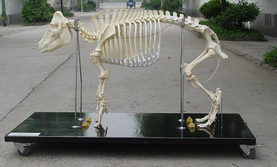 pig skeleton | Animal Anatomy | Pinterest | Skeletons, Anatomy and ...