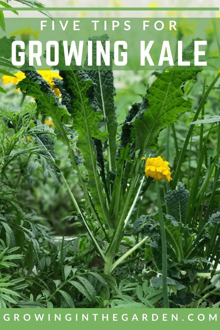 How to grow kale home vegetable garden growing