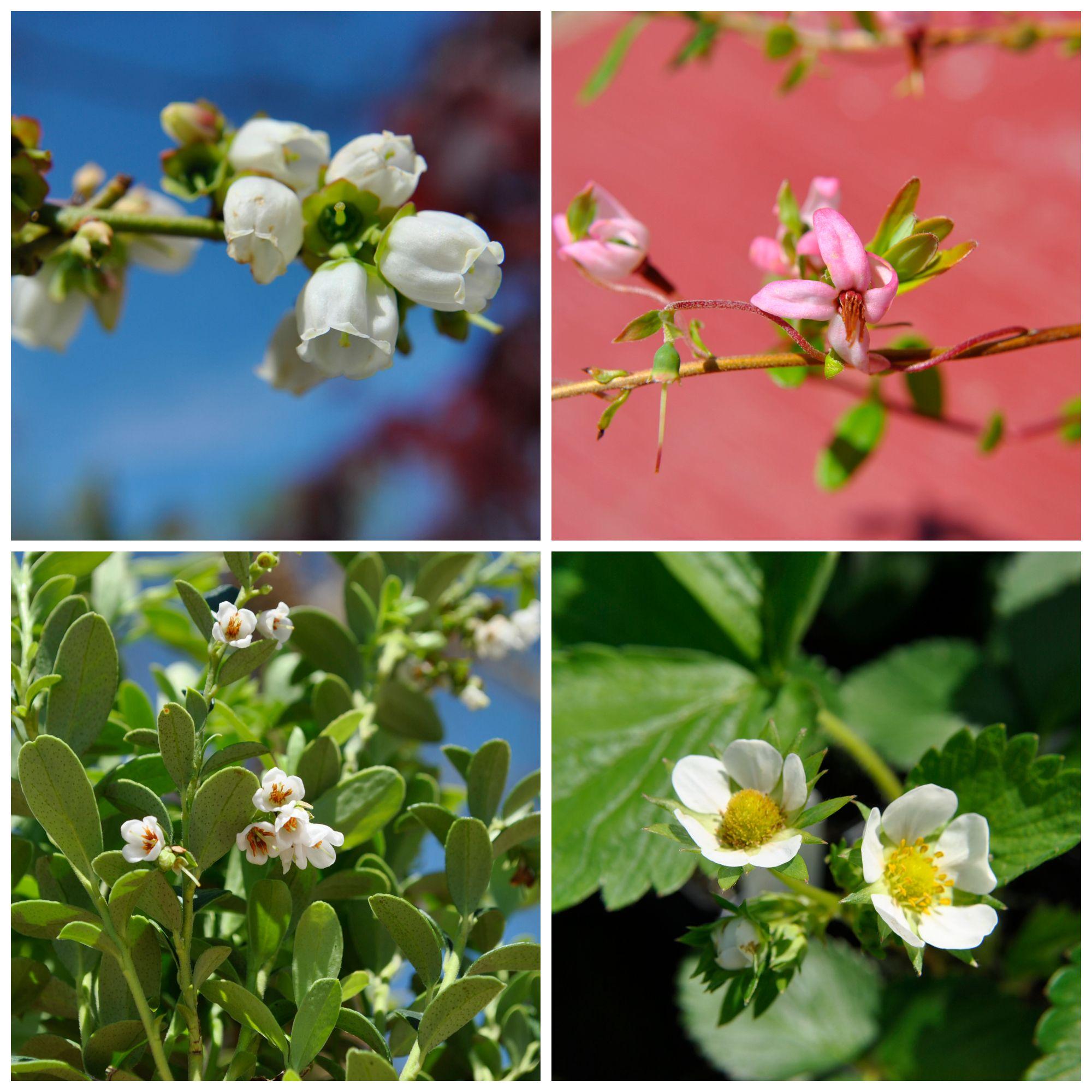 Clockwise: Blueberries, Cranberries, Strawberries, Lingonberries #blooming | #starkbros