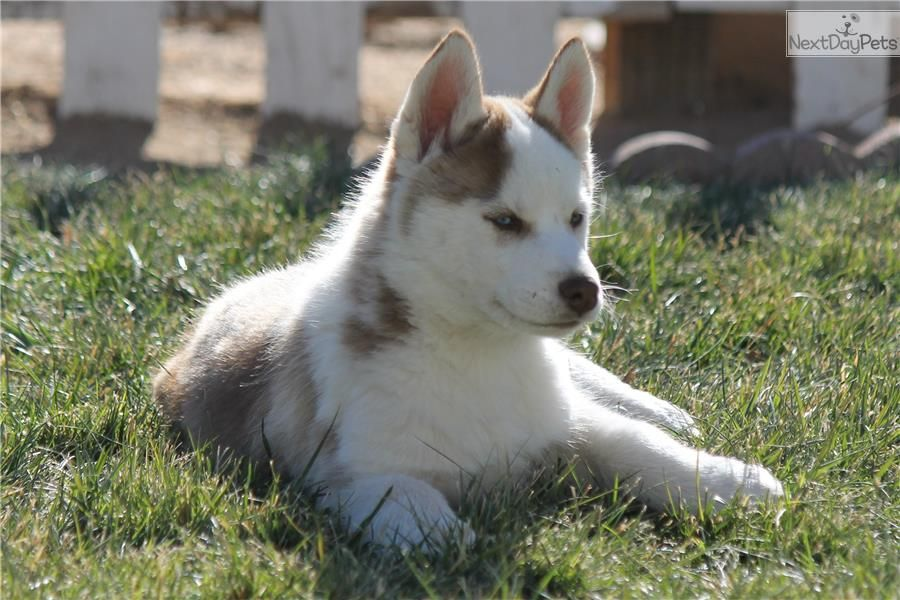 Mack Siberian Husky Puppy For Sale Near Los Angeles California