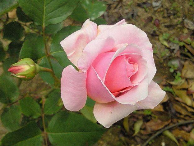 バラ #マダムバタフライ #開花な...