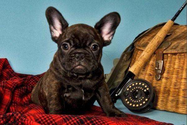 French Bulldog Puppy For Sale In Richmond Va Adn 33917 On