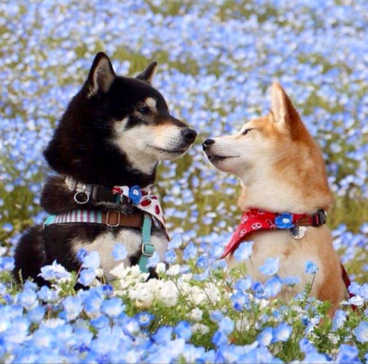 Literally D P Shiba Inu Cute Animals Japanese Dogs