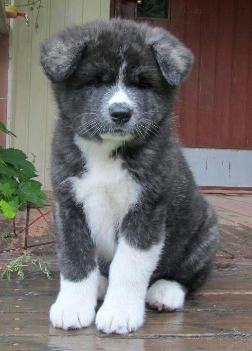Japanese akita inu omg I love this puppy
