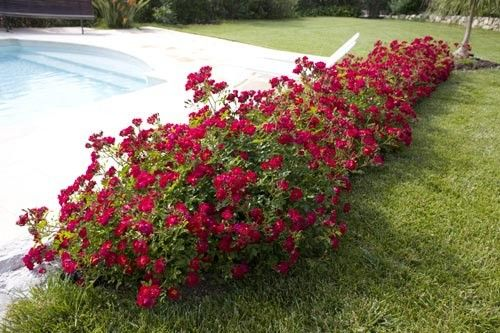 rosier red drift meigalpio jardin pinterest couvre sol rosier et rosier couvre sol. Black Bedroom Furniture Sets. Home Design Ideas