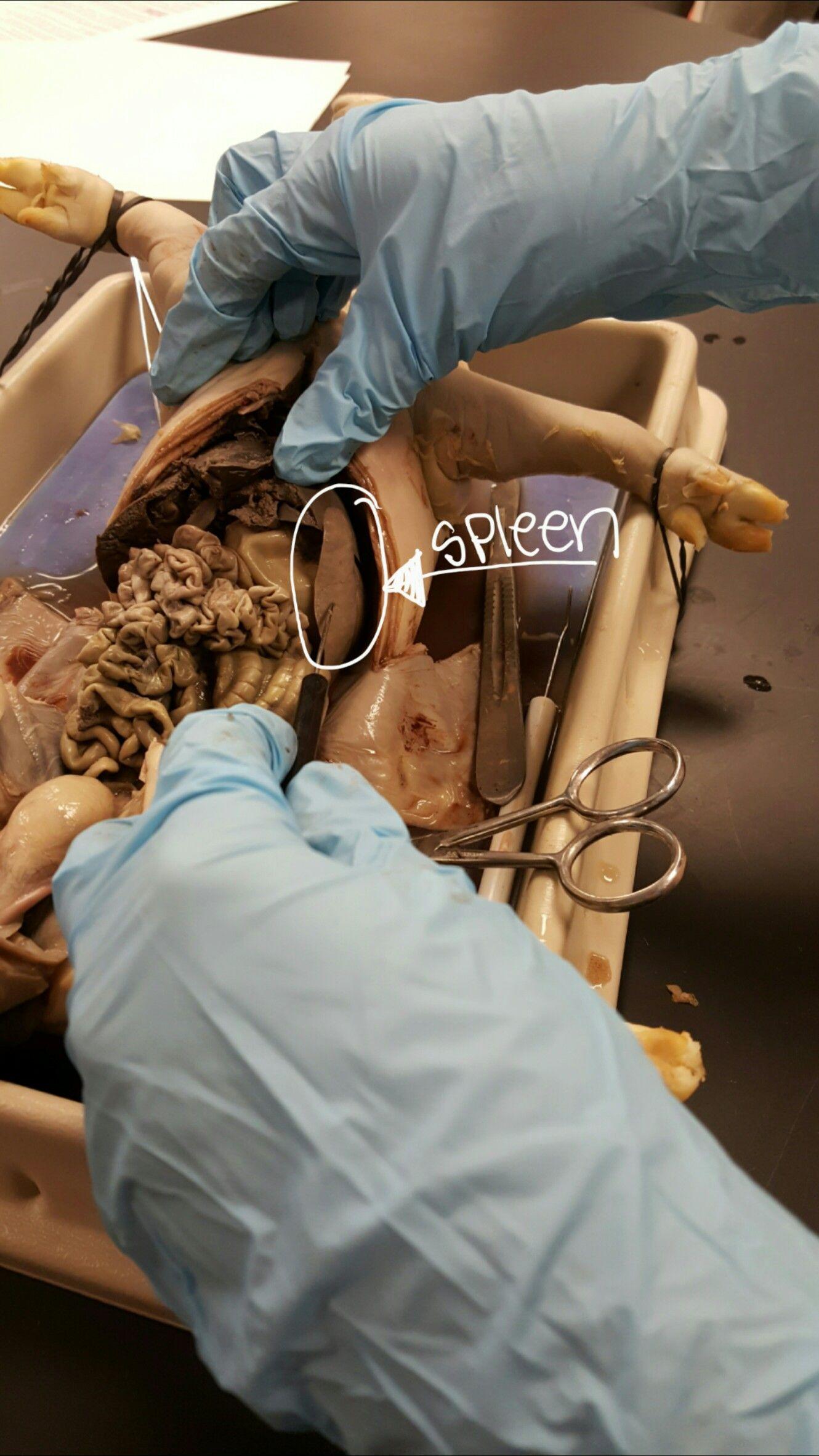 Fetal Pig Disection | Anatomy & Physiology | Pinterest