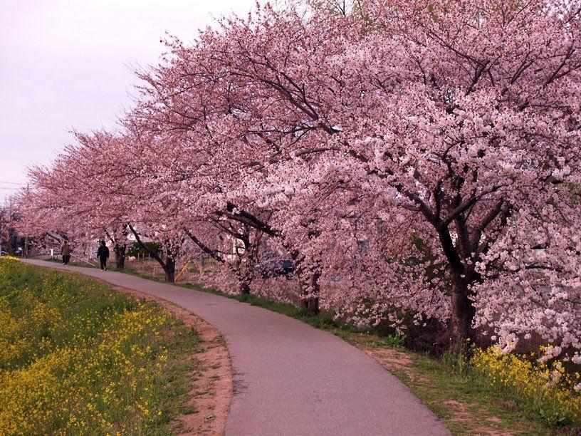 Panoramio Photo Of Cherry Trees Trees To Plant Beautiful Tree Tree