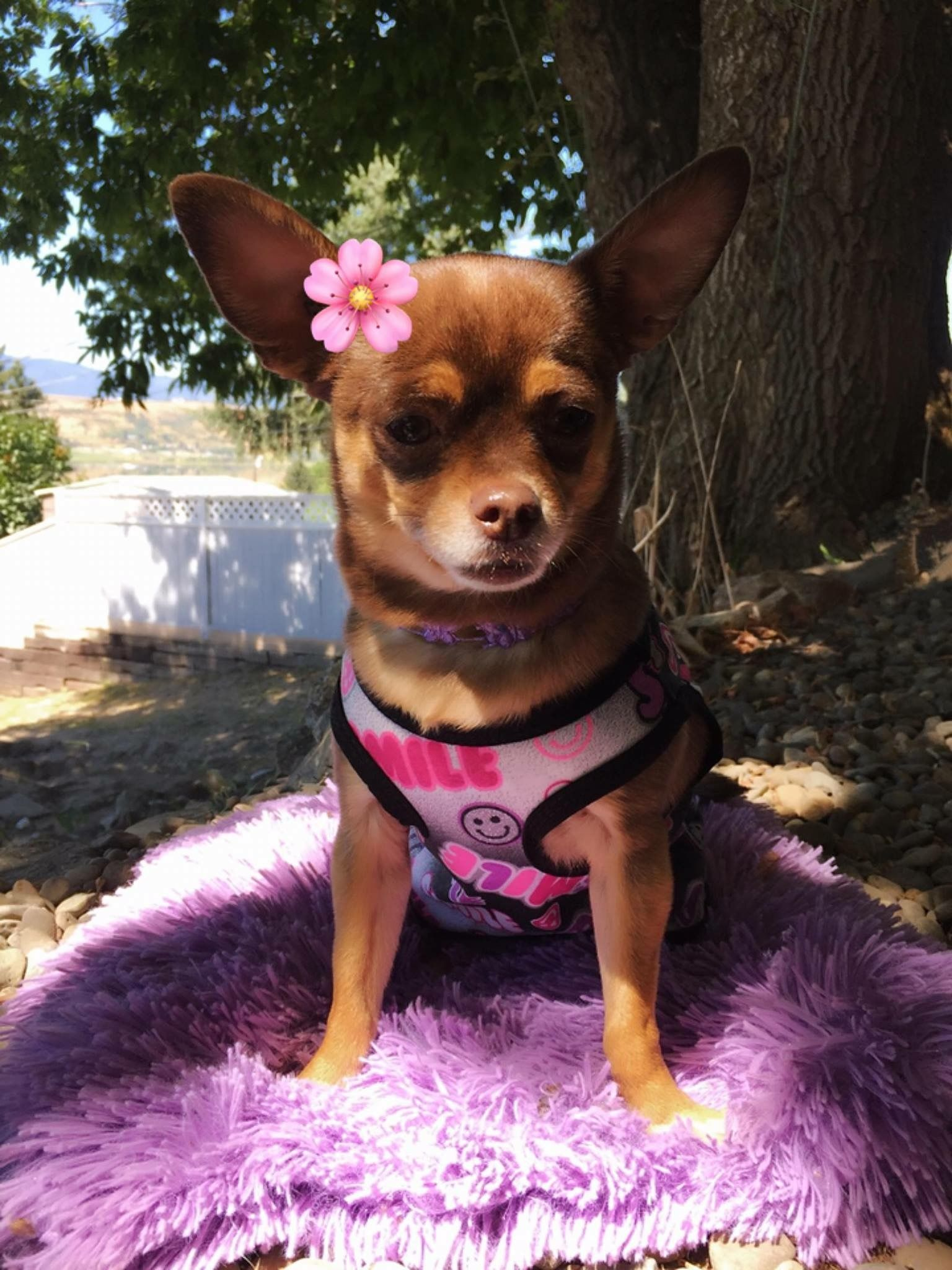 Nummy Cute Chihuahua Like Her Page On Facebook For More Cute