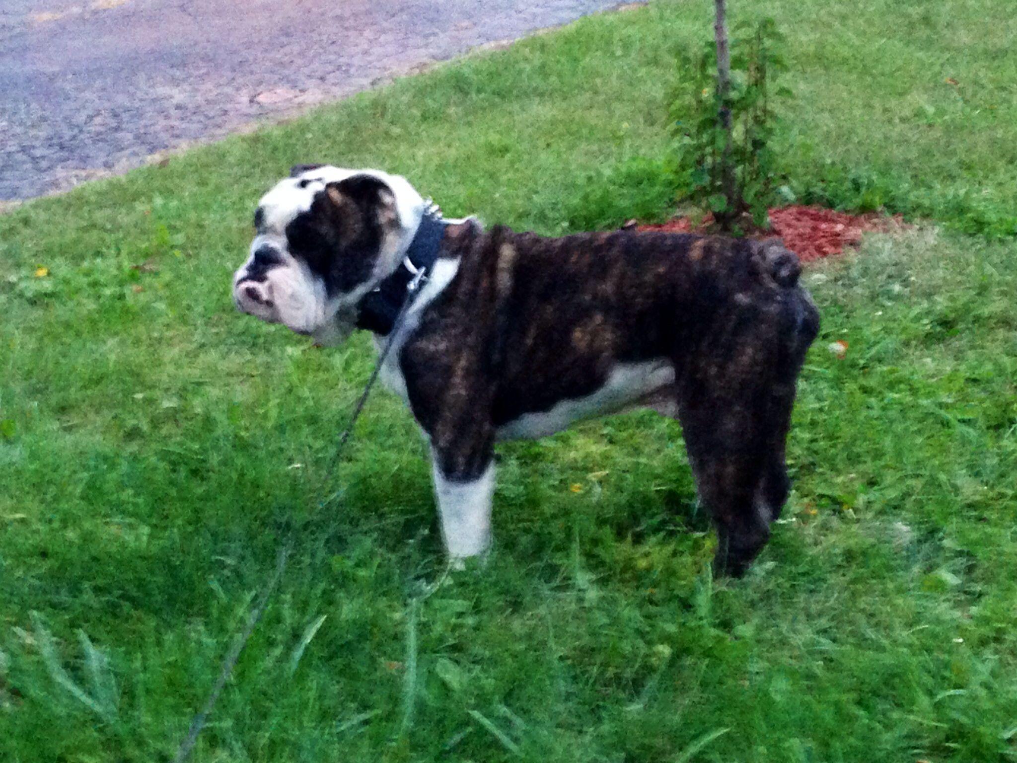 My 17 Month Old English Bulldog Bandiddo English Bulldog Bulldog Old English Bulldog