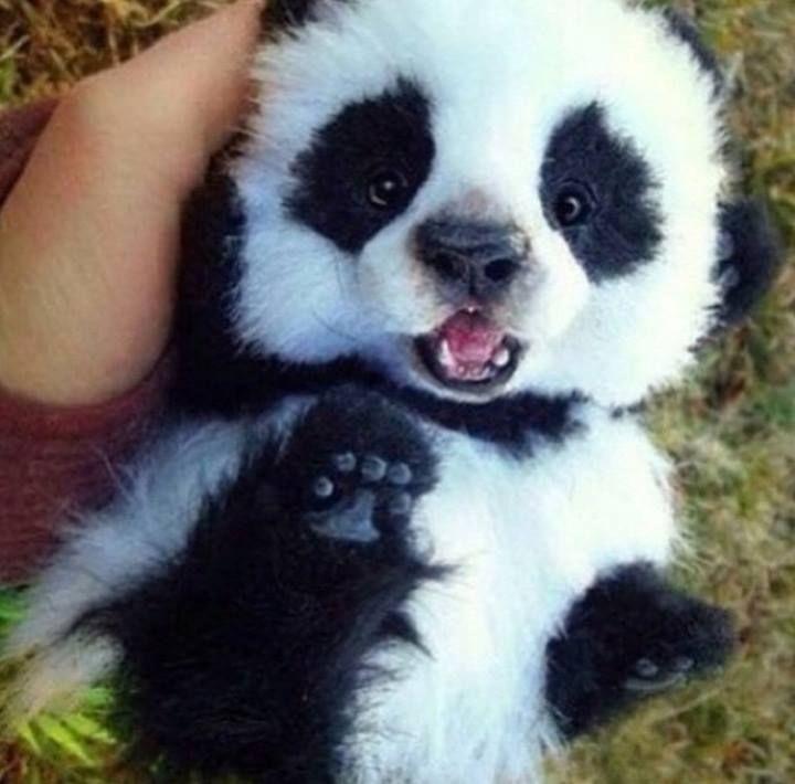 The cutest baby panda ever | Too Cute | Baby panda bears ...