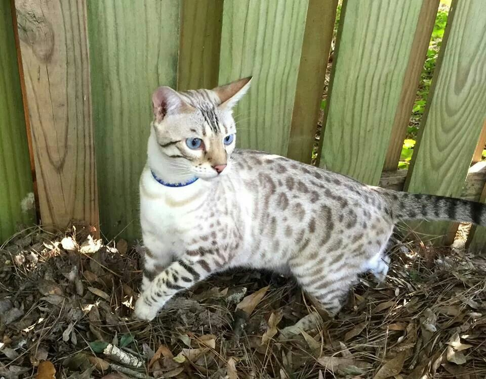Snow Bengal Mixed With Lynx Point Siamese Gorgeous Bengal Cat Asian Leopard Cat Cats