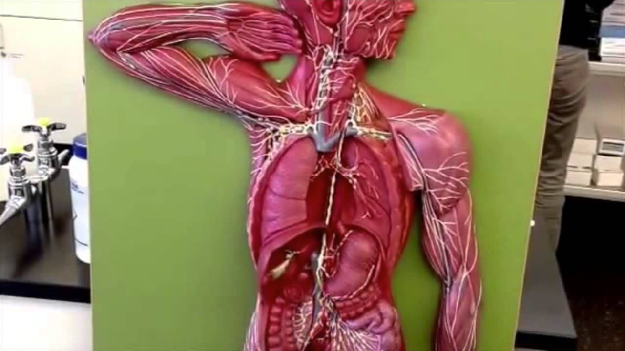 Jonathan Christie PCC 232 Week 9: Lab Model Board boy: Lymphatic ...
