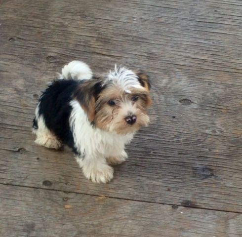 Biewer Yorkshire Rare Breed Dogs Puppies For Rehoming