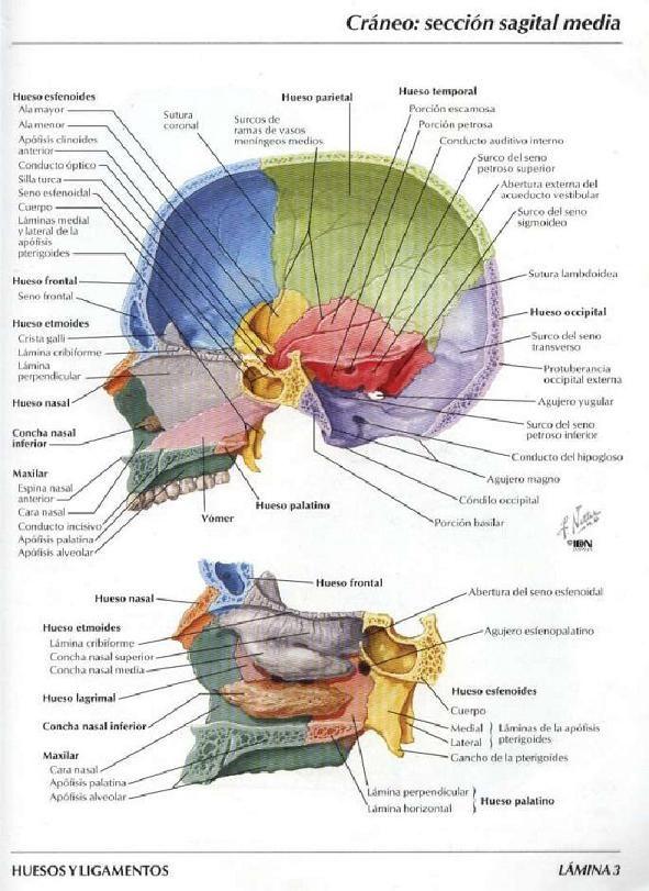 Bibliografia Atlas de Anatomia Humana de Frank H. Netter | El craneo ...