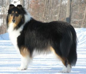 Pin On Rough Collie