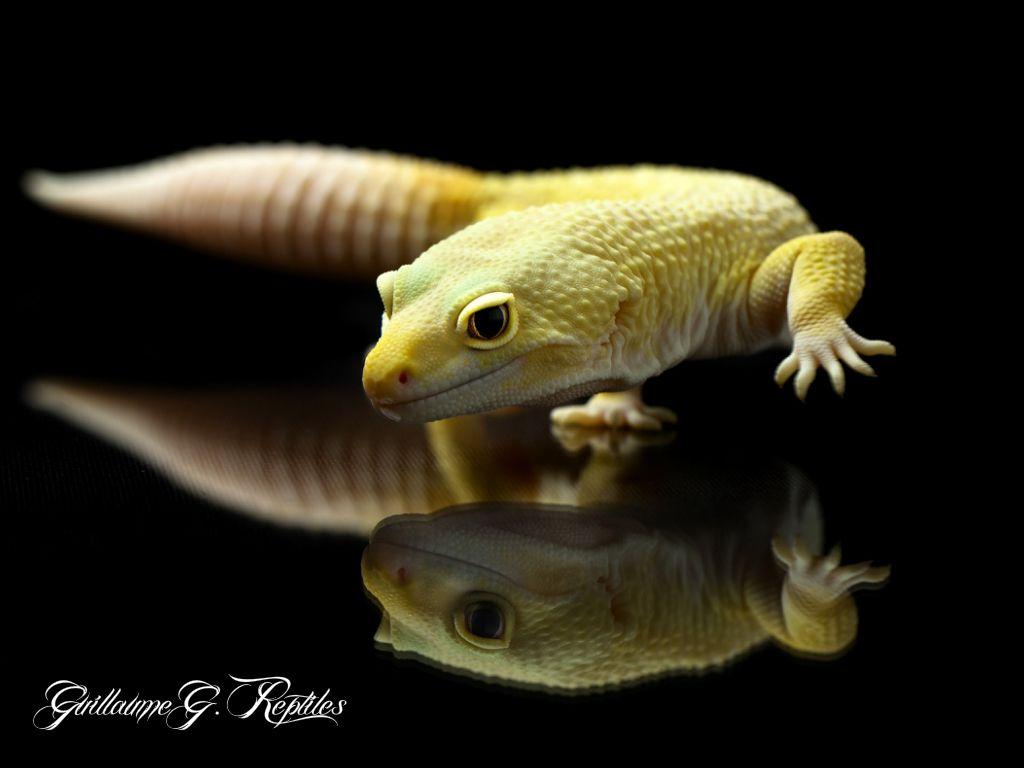 Eublepharis Macularius - Rainwater Albino