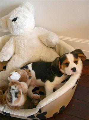 Beaglier Beagliers Beagle Cavalier King Charles Spaniel Hybrid Cavalier King Charles Dog King Charles Cavalier Spaniel Puppy King Charles Dog