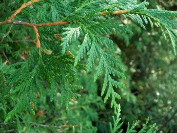 White Cedar Medicinal Plants Trees And Shrubs Plants