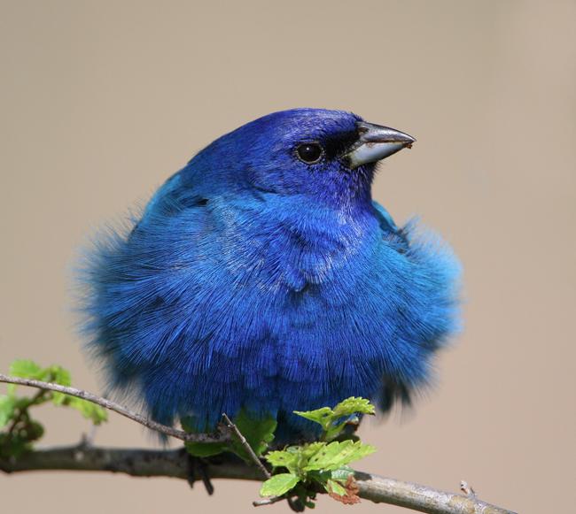 indigo bunting. ridiculously beautiful bird! great photo of feathers too.