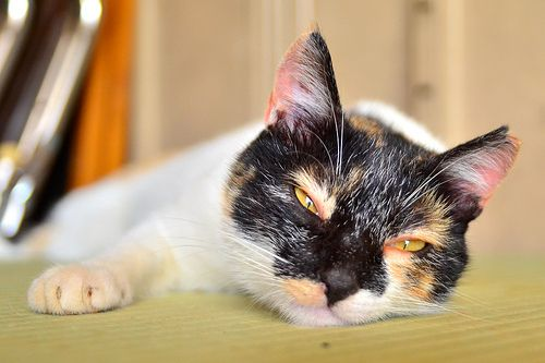 畑の小屋に住んでる三毛猫♀ /  Japanese Tortoiseshell Cat ♀