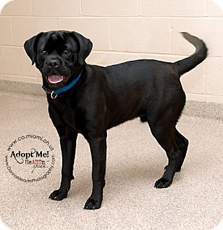 Ohio Urgent Spook Is A Pug Mix Who Knows Some Basic Commands