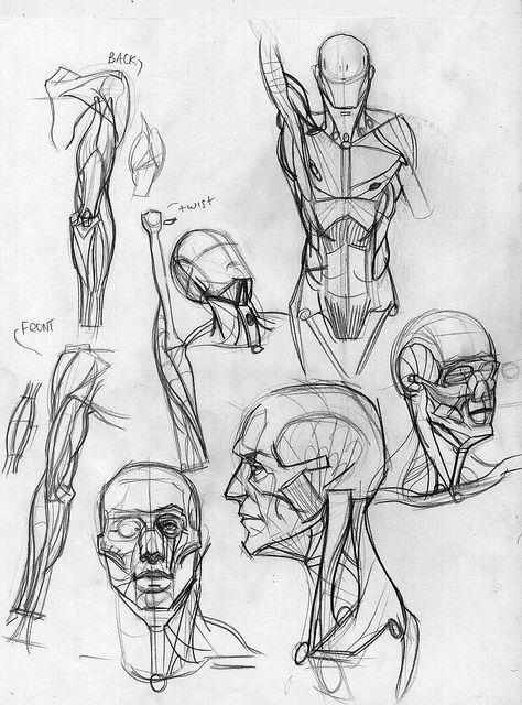 увлекается рисуем анатомия человека в картинках узколистный является