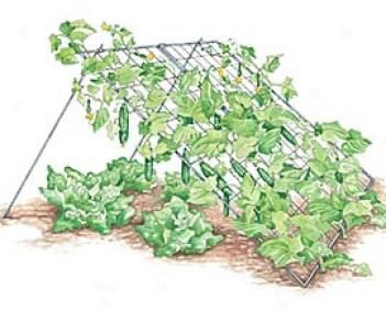 A cucumber trellis avoids soil borne diseases the design for Soil borne diseases