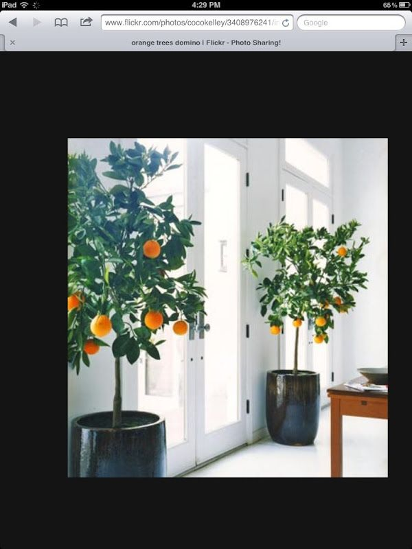 indoor fruit trees grow it plants indoor plants 87151